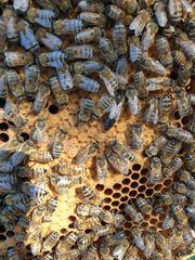 Bienen Bienenvolk Bienenvölker Carnica auf