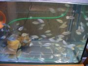 Tilapias Jungfische aus eigner Haltung