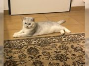 BKH Silver Tabby Shaded Deckkater -