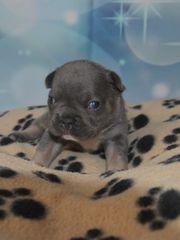 Süße Französische Bulldog Babys mit