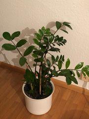 Grünpflanze Glücksfeder