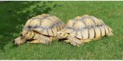 2 Spornschildkröten je 11 Jahre