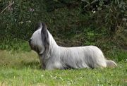 Skye Terrier From Waringham Castle