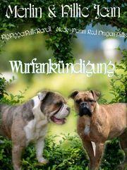 Old Englisch Bulldog Welpen