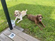 Zuckersüße Labrador Welpen