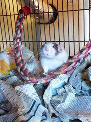 Mehrere Adulte gesunde Ratten