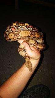 M S Reptilien boa constrictor