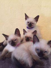 Siam Thai Katzen