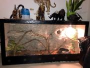 Blauer Leguan inkl terrarium