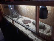 Blauzungenskink mit Terrarium