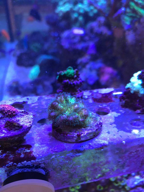 Meerwasser Korallen Stylophora pistillata grün
