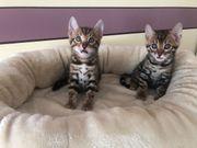 Bengal Kitten mit XXL Rosetten