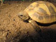 Griechische Landschildkröten aus Nachzucht 2020