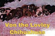 Noch 4 Reinrassige Chihuahuawelpen mit
