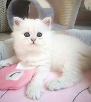 wunderschöne point Kitten suchen ihre
