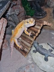 Leopardgecko 1 0 Super Giant