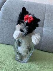 Biewer-Yorkshire Terrier Spalter Welpe