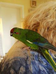 Ziegensittich Papagei sehr zahm