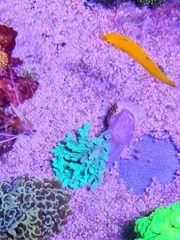 Schöne leder Korallen blau meerwasser