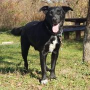 QUIDO C11 Labrador Mischling - ein