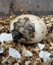 Griechische Landschildkröten - Testudo hermanni boettgeri