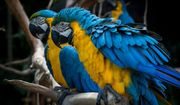 Junge Ara Papagei