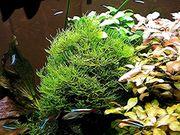 Javamoos Aquariumpflanzen Versand Abholung