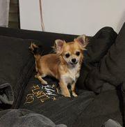 Reinrassige Chihuahua-Hündin sucht