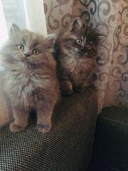 Perser Babykatzen