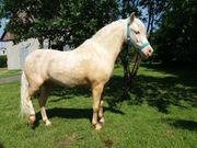 Welsh Pony Cremello Sektion A