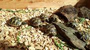 Griechische Landschildkrötenbabys