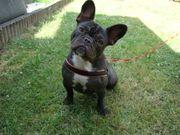 Reinrassige französische Bulldogge sucht ein