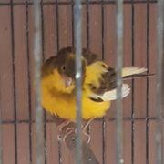 Zuchtreife Kanarien Hennen