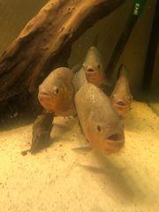 Roter Piranha Pygocentrus nattereri