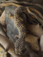 leopardgecko Zuchtgruppe 1 2