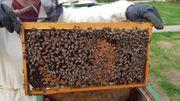 Bienenvölker zu verkaufen Carnica Zandermaß