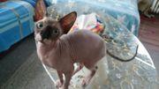 Canadische Sphynx Katze