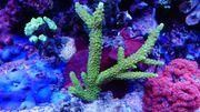 Korallenableger aus Nachzucht