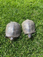 Adulte Europäische Sumpfschildkröte M und