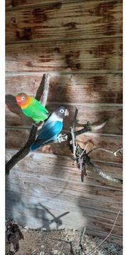 Liebesvogelpärchen