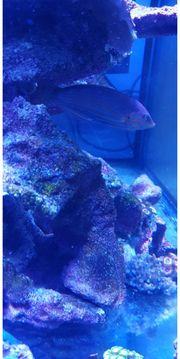 Regenbogenlippfisch lippfisch Meerwasser