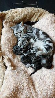 BKH Kitten in Black Silber