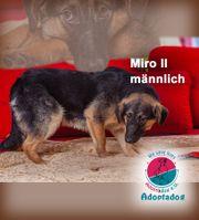 Miro II - ein Schäferhundmix mit