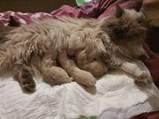 Perserkatze kitten in Colourpoint