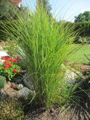 Ziergras Pflanze