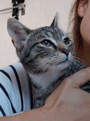 bildschöne Tiger Lady Katze Kitten
