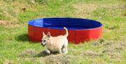 Todo 8 jahre alter Chihuahua
