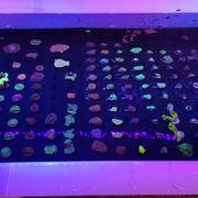 Korallen Meerwasser Zoanthus LPS SPS