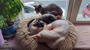 Don Sphynx Baby Katze
