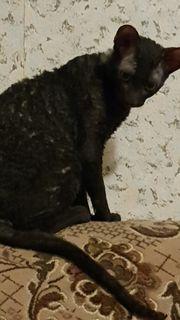Katze Selten 3 Cornish Rex